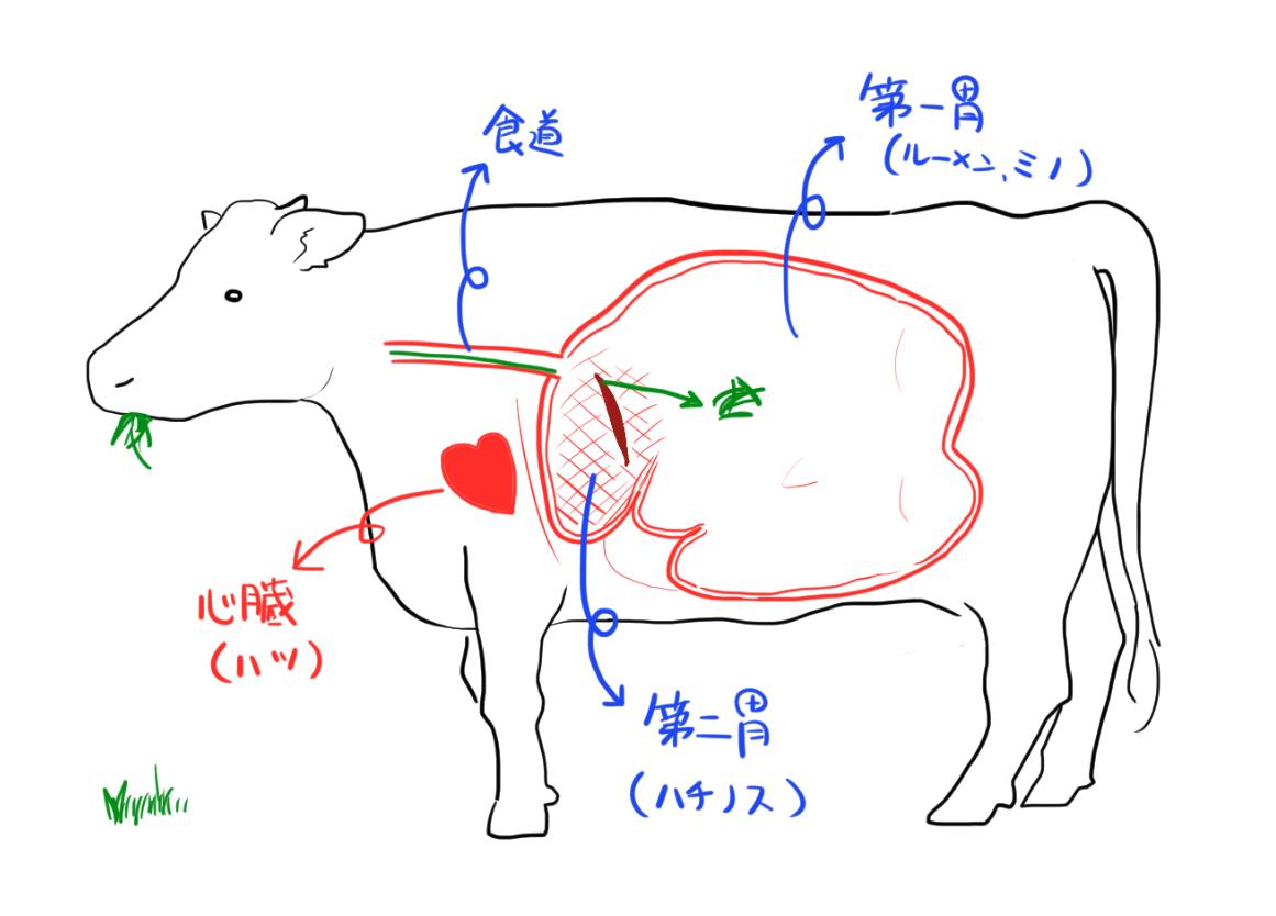 牛の第一胃(ルーメン、ミノ)と第二胃(蜂の巣)のイラスト