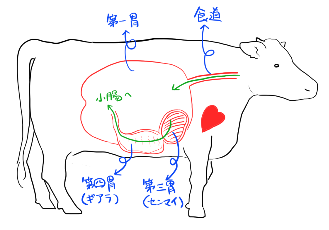 牛を右側から見た図