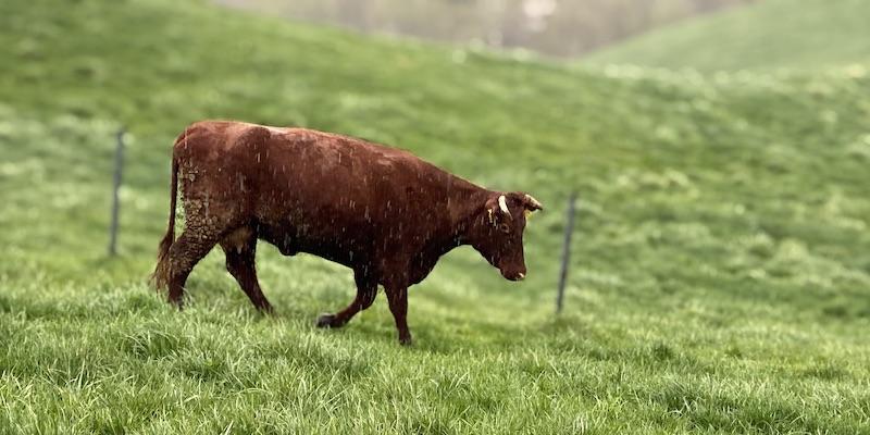 大雨の草原を力強く移動する短角牛