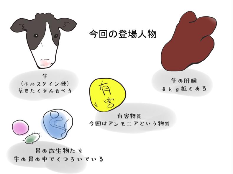 牛の肝臓の働き - 今回の登場人物