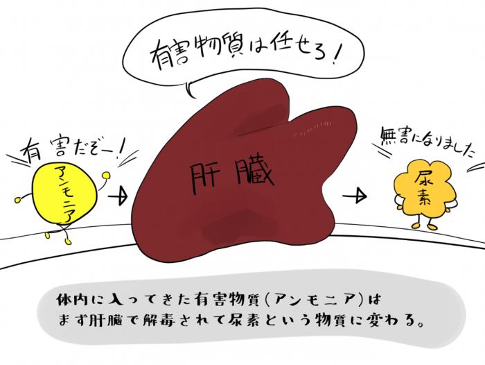 体内に入ってきた有害物質(アンモニア)はまず肝臓で解毒されて尿素にかわる