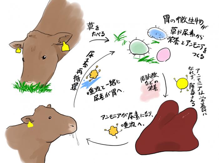 胃の微生物が草や尿素から栄養とアンモニアを作る