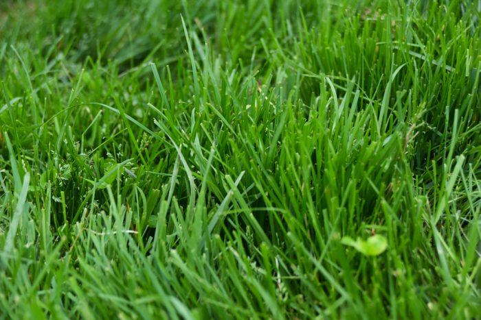 良質な牧草を食べてグラスフェッド牛が育つ
